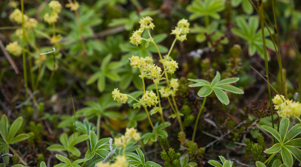Ljónslappi, flower, Iceland