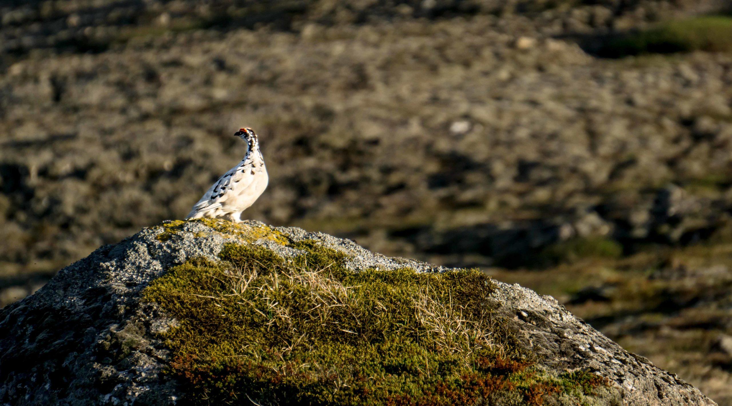 Arctic Ptarmigan, Iceland, birds, East Iceland
