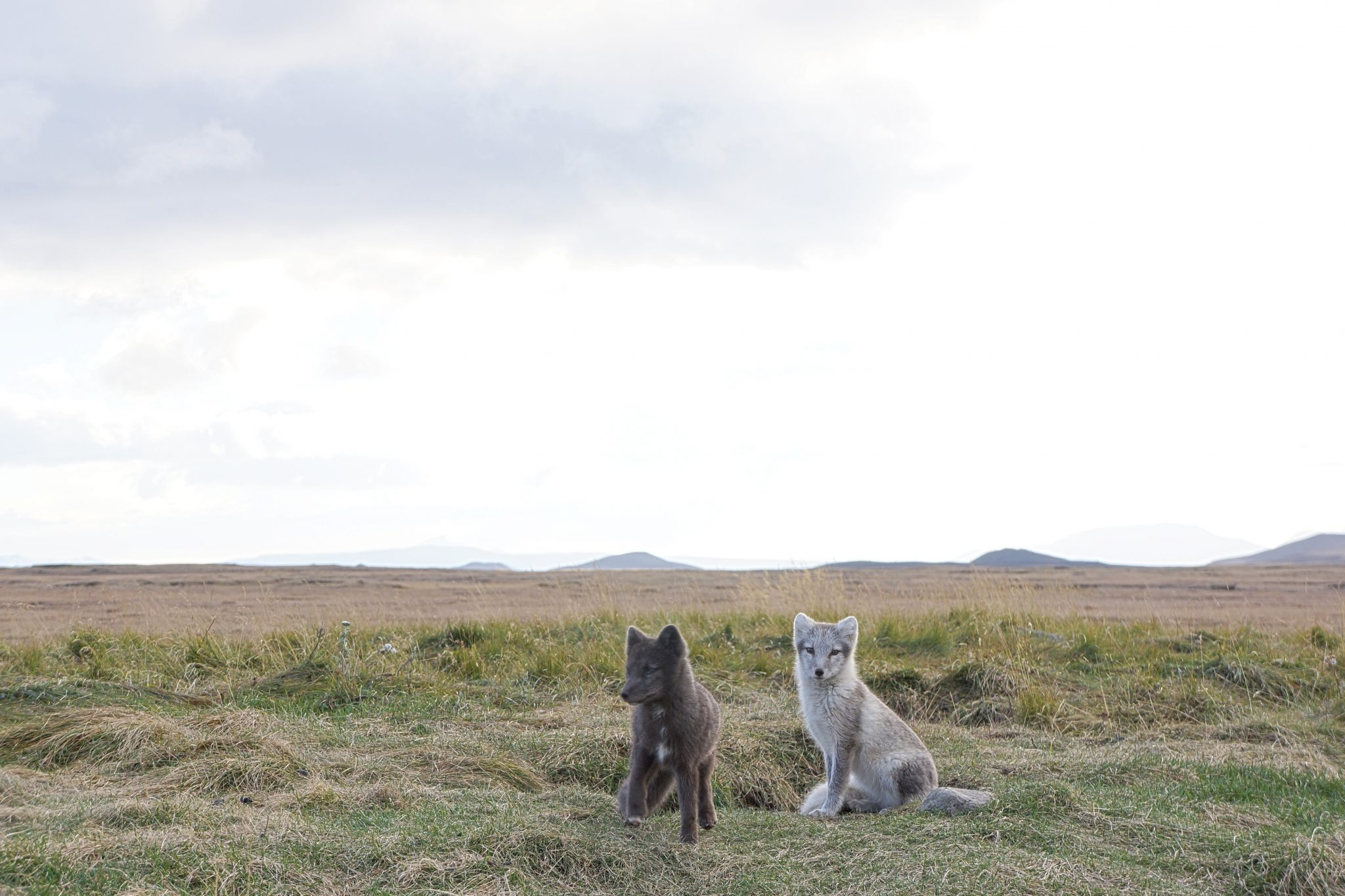 Arctic Fox, Iceland, Möðrudalur,