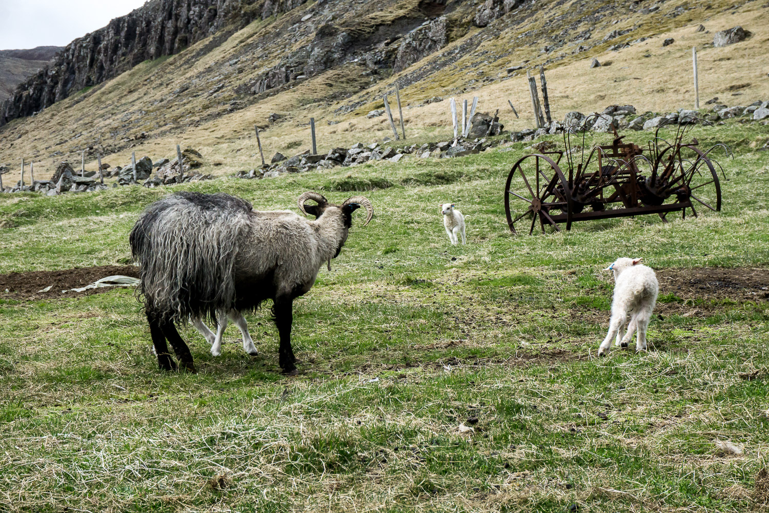 Icelandic Sheep, Iceland, East Iceland