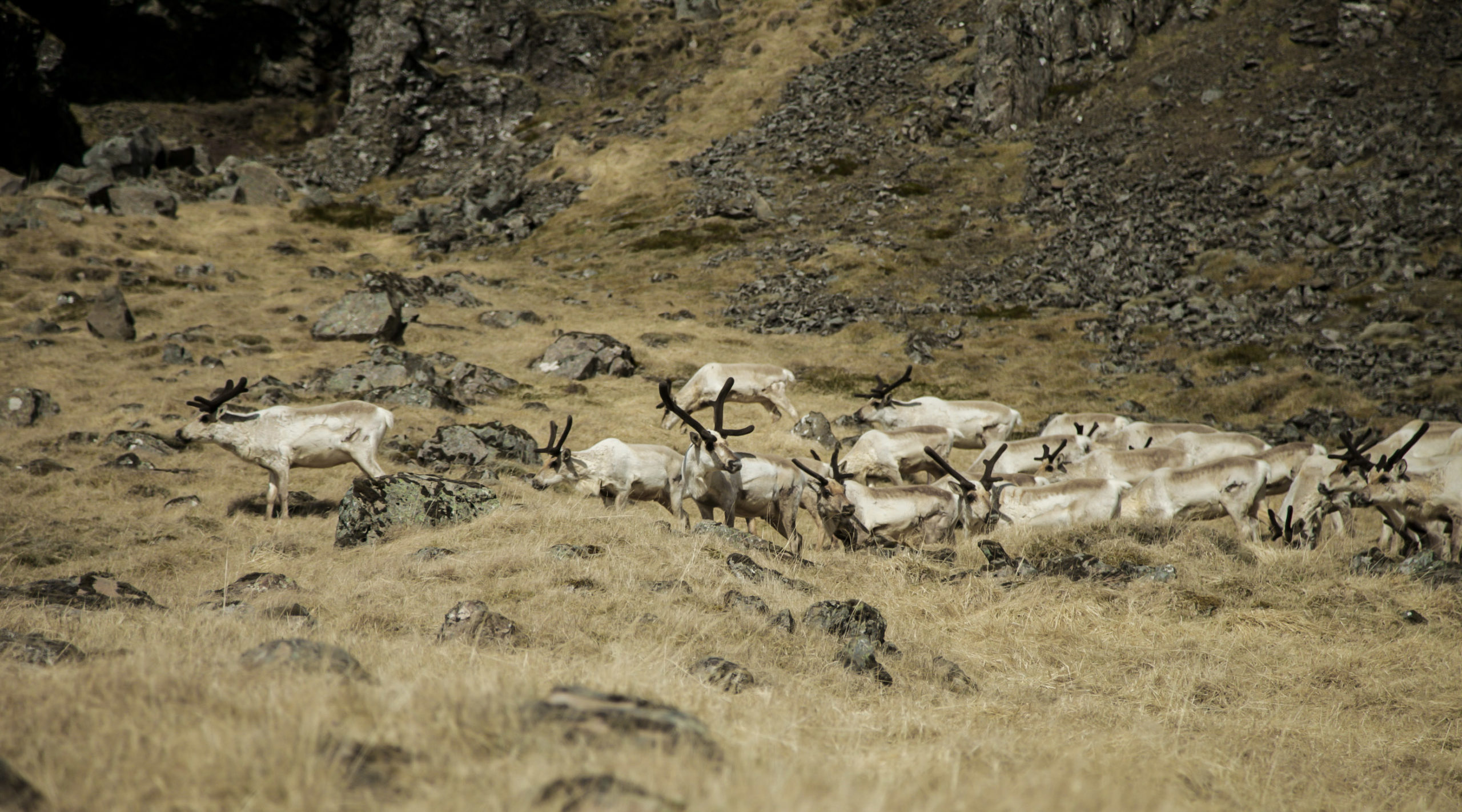 East Iceland, Reindeer, Iceland, Guided tour, Super Jeep tour,