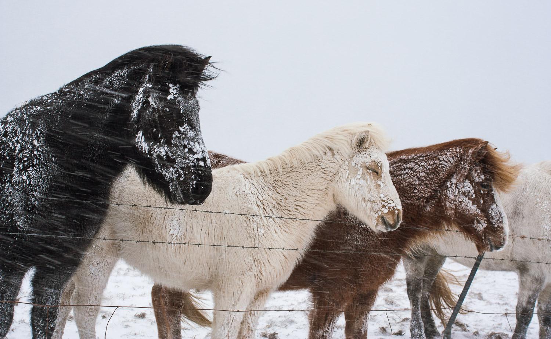 Icelandic horse, horses, Iceland, winter