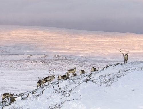 Wild Reindeer Experience