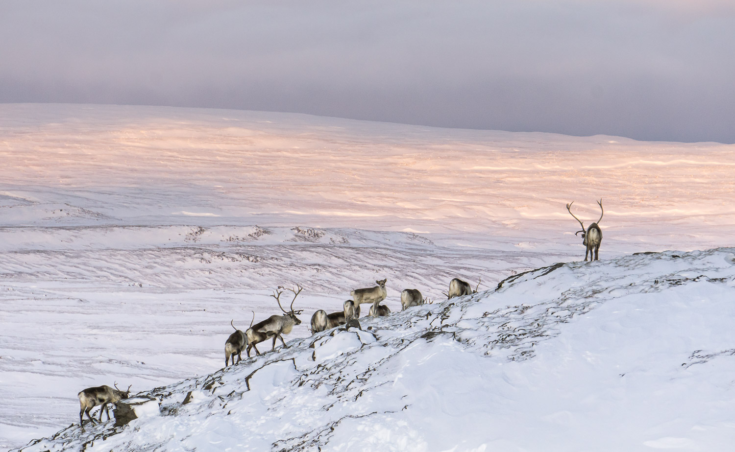Reindeer, Iceland, East Iceland, guided tours, super jeep tours, private tour